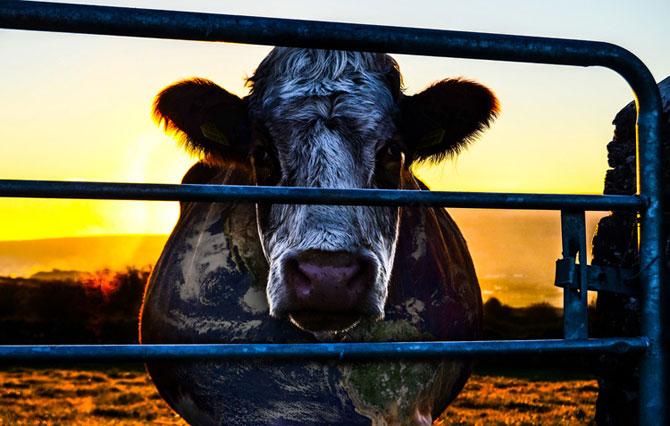 Cowspiracy documentario dvd