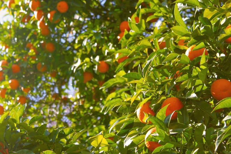 arancia proprietà e benefici